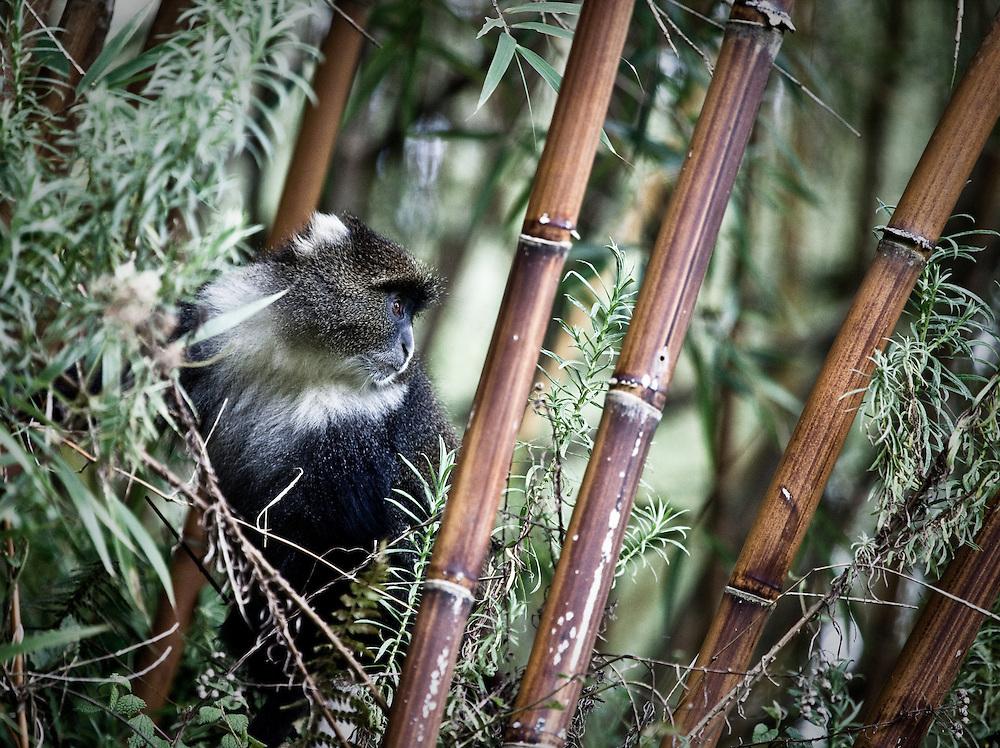 skye's monkey in bamboo, Aberdare Mountains
