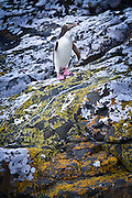 Yellow-eyed penguin, Catlins, New Zealand