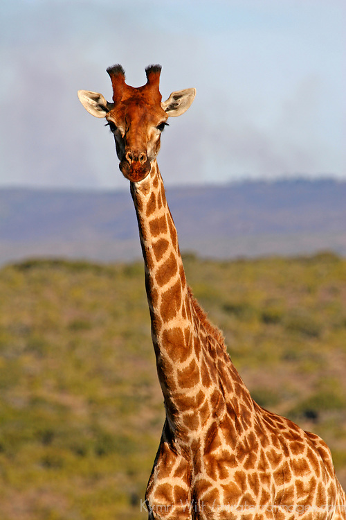 Africa, South Africa, Kwandwe Private Game Reserve. Masai Giraffe.
