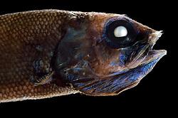 [captive] Searsid (Maulisia sp), deep sea fish, Atlantic Ocean, close to Cape Verde  