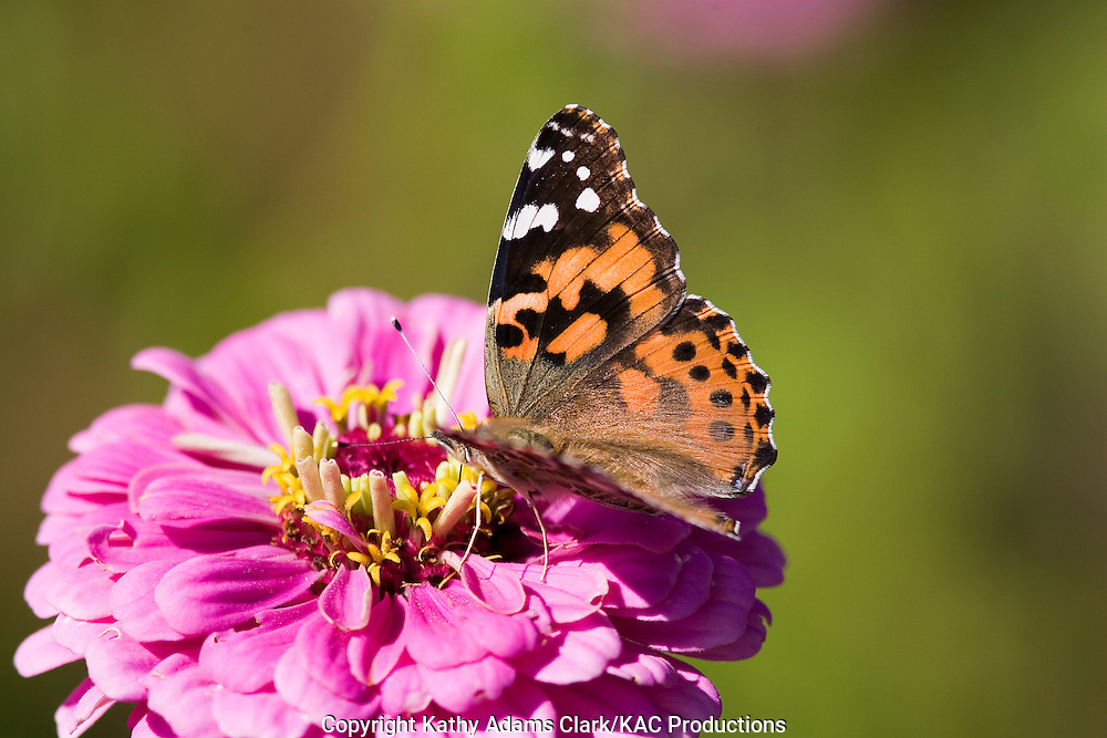 Painted lady butterfly, Vanessa cardui, feeding on zinnia, Ft. Davis Texas.