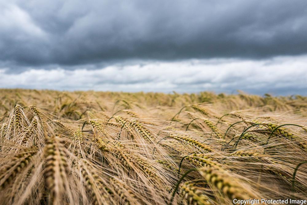 A field of barley.