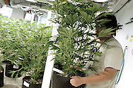 Mike Lottman, grow tech, moves a marijuana plant in a medical marijuana center in Denver April 2, 2012.  With Colorado voters set in November to decide whether to defy the federal government and legalize marijuana for recreational use under state law, the enforcement division could play a key role in bringing a black market pot trade out of the shadows.  REUTERS/Rick Wilking (UNITED STATES)