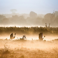 Two crested cranes on a misty morning in Solio, Kenya