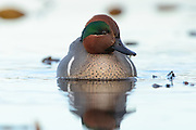 Green-winged Teal (Anas crecca), Pacific Northwest