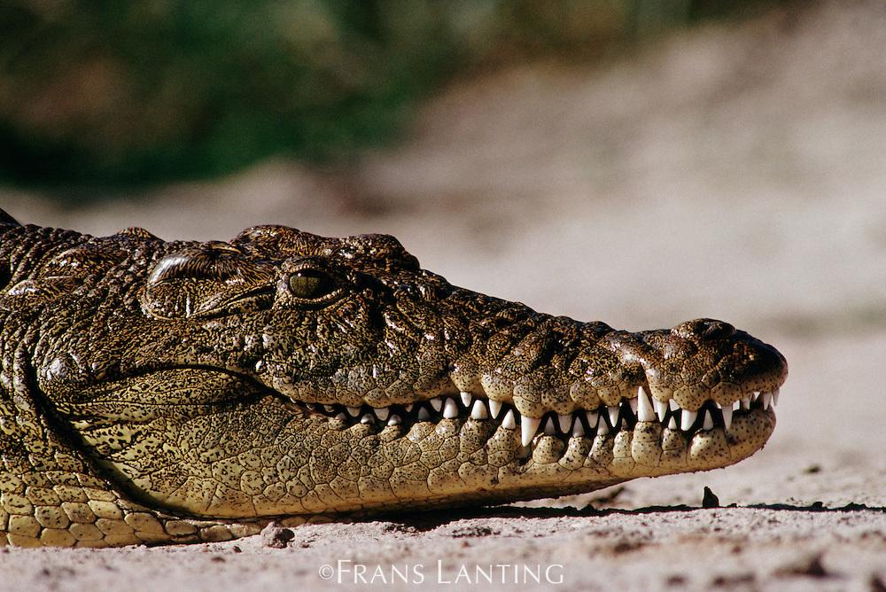 Nile crocodile, Crocodylus niloticus, Okavango Delta, Botswana