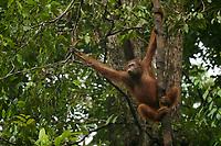 Bornean Orangutan - &quot;wurmbii&quot; subspecies<br />(Pongo pygmaeus wurmbii)<br /><br />Young female &quot;Walima&quot;<br /><br />Cabang Panti Research Station<br />Gunung Palung National Park<br />West Kalimantan, Indonesia<br />Borneo Island