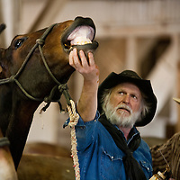 Mule wrangler holding the chin of a mule up to make it swallow worming medication.