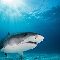 Apex predators: Sharks of Tiger Beach