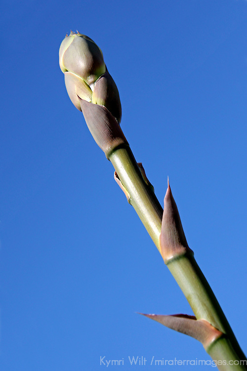 USA, California, San Diego County. Century Plant stalk at Anza-Borrego Desert State Park.