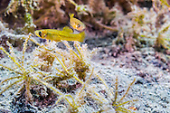 Pecos Gambusia<br /> <br /> Jennifer Idol/Engbretson Underwater Photography