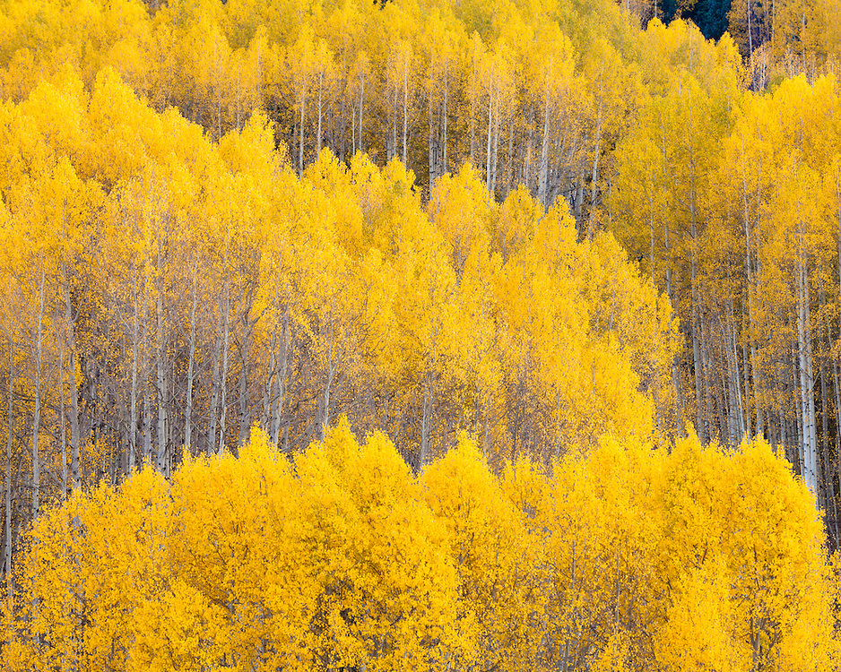 Fall color on Kebler Pass. Crested Butte, Colorado.