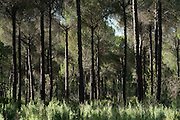 Pine Trees (Pinus sp.)<br /> Do&ntilde;ana National &amp; Natural Park. Huelva Province, Andalusia. SPAIN<br /> 1969 - Set up as a National Park<br /> 1981 - Biosphere Reserve<br /> 1982 - Wetland of International Importance, Ramsar<br /> 1985 - Special Protection Area for Birds<br /> 1994 - World Heritage Site, UNESCO.<br /> The marshlands in particular are a very important area for the migration, breeding and wintering of European and African birds. It is also an area of old cultures, traditions and human uses - most of which are still in existance.<br /> <br /> Mission: Iberian Lynx, May 2009<br /> &copy; Pete Oxford / Wild Wonders of Europe<br /> Zaldumbide #506 y Toledo<br /> La Floresta, Quito. ECUADOR<br /> South America<br /> Tel: 593-2-2226958<br /> e-mail: pete@peteoxford.com<br /> www.peteoxford.com