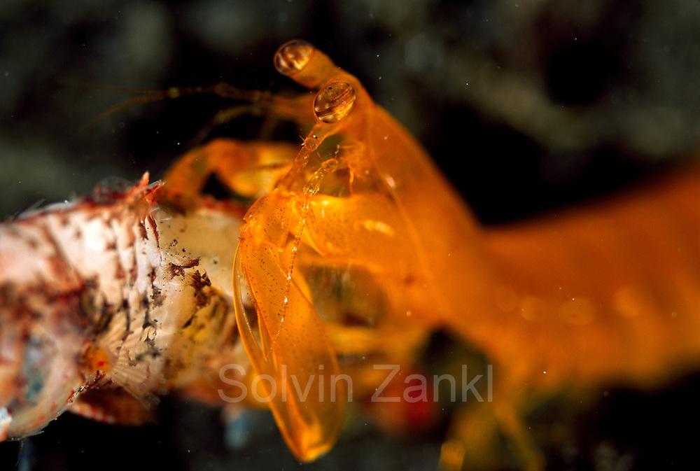 Dieser Fangschreckenkrebs (Pseudosquilla ciliata) hat einen Fisch erbeutet und beginnt, ihn zu verspeisen. | Mantis Shrimp (Pseudosquilla ciliata)