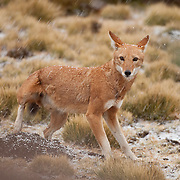 Ethiopian Wolf (Canis simensis) during a hail storm in Simien Mountains N.P., Ethiopia...Status: Endangered   ..Pop. trend: decreasing