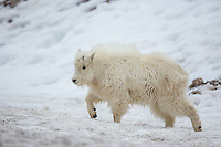 Mountain goat kid during winter in Wyoming