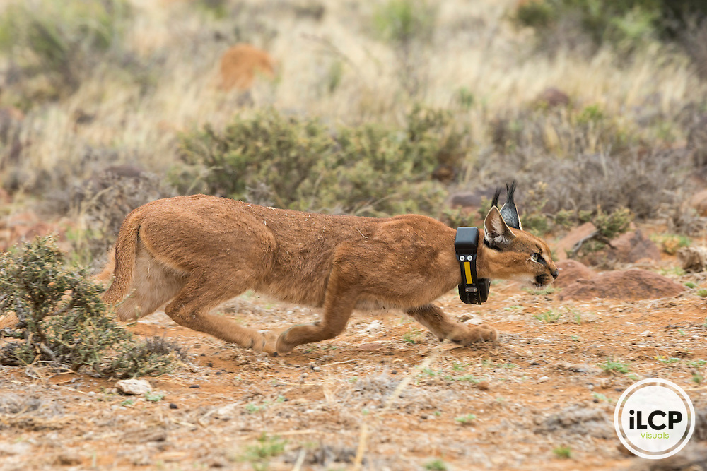 La femelle caracal Ginger se r&eacute;veille de son anesth&eacute;sie avec un collier GPS qu&rsquo;elle portera pendant 5 mois. Apr&egrave;s ce temps, il sera automatiquement d&eacute;clench&eacute; et tombera de l&rsquo;animal. : The caracal female Ginger wakes up from anesthesia with a GPS collar it will bear for 5 months. After this time, it will automatically triggered and fall of the animal.<br /> Beaufort West, Western Cape, South Africa