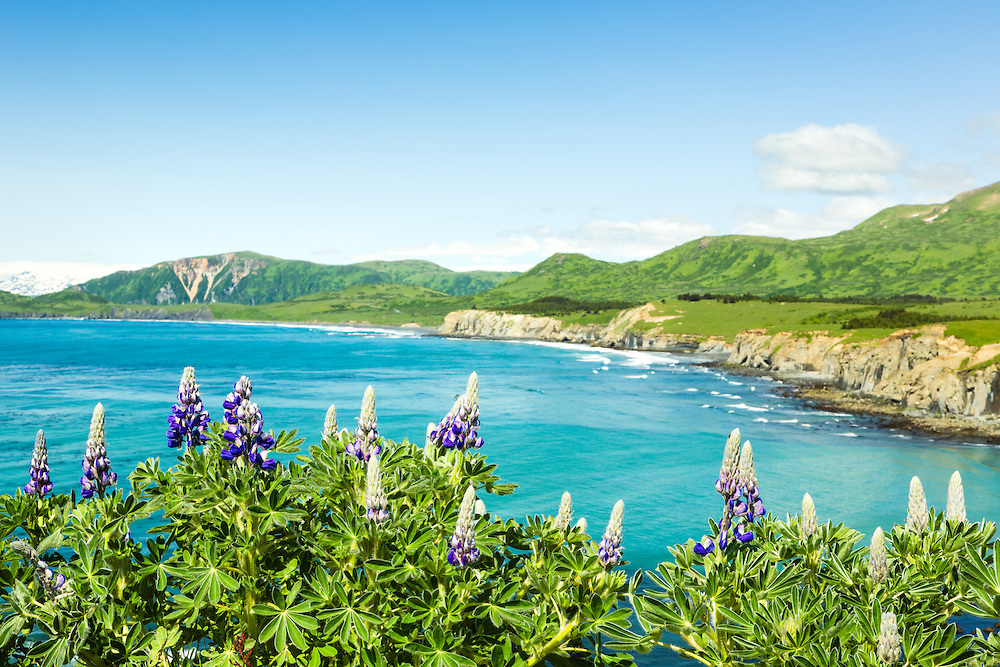 Closeup of Nootka Lupine (Lupinus nootkatensis) on Narrow Cape  with Surfing Beach and Pasagshak Sate Recreation Site in the background on Kodiak Island in Southwestern Alaska. Summer. Afternoon.