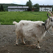 geit med killing, Øverbygda. Foto: Bente Haarstad