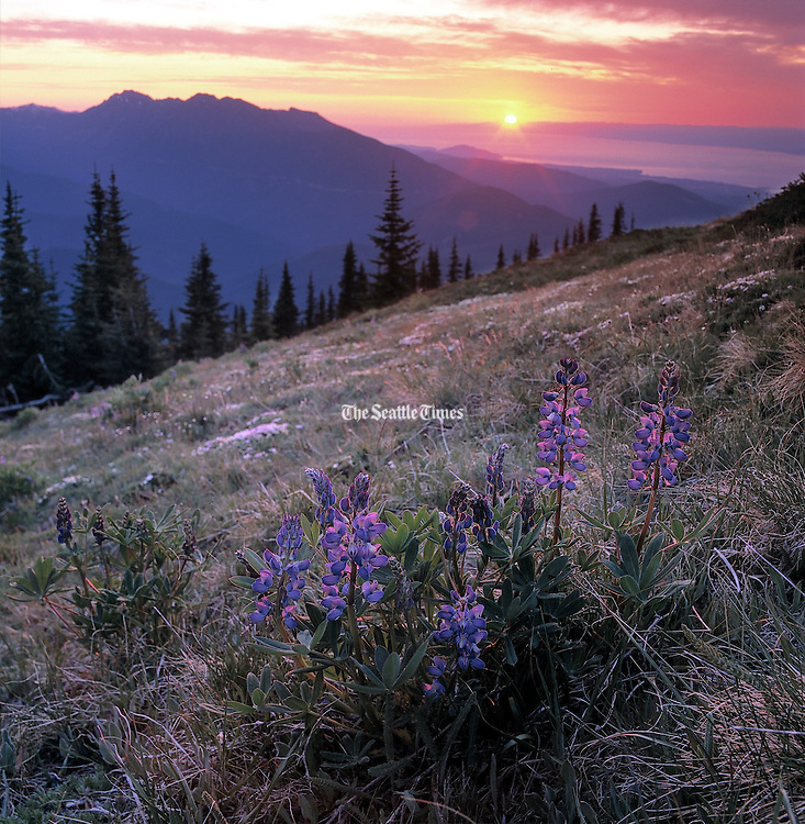 Sunset backlights blooming lupine ad Deer Park in the mountains of Olympic National Park. The Strait of Juan de Fuca is on the horizon. (Benjamin Benschneider / The Seattle Times)