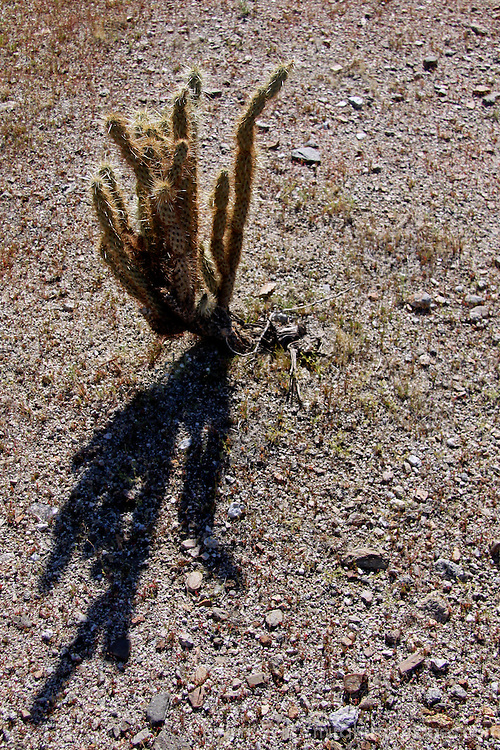 USA, California, San Diego County. Cholla cactus of Anza-Borrego Desert State Park.