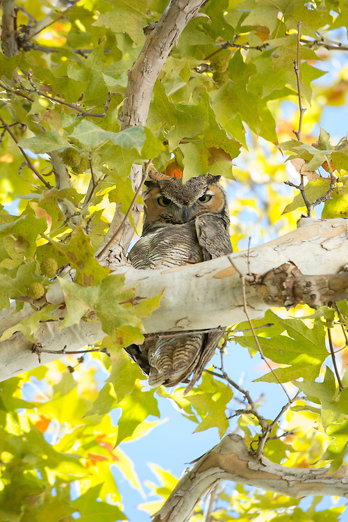 USA, Arizona, Southwest, Montezumas castle, National monument,Great Horned Owl in cottonwood tree