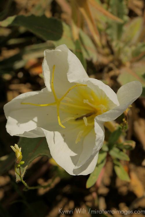 USA, California, San Diego County. Desert Primrose.