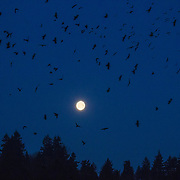 A murder of thousands of crows takes flight at the first light of day from their roost in Bothell, Washington. The full moon is beginning to set behind a forested ridge.