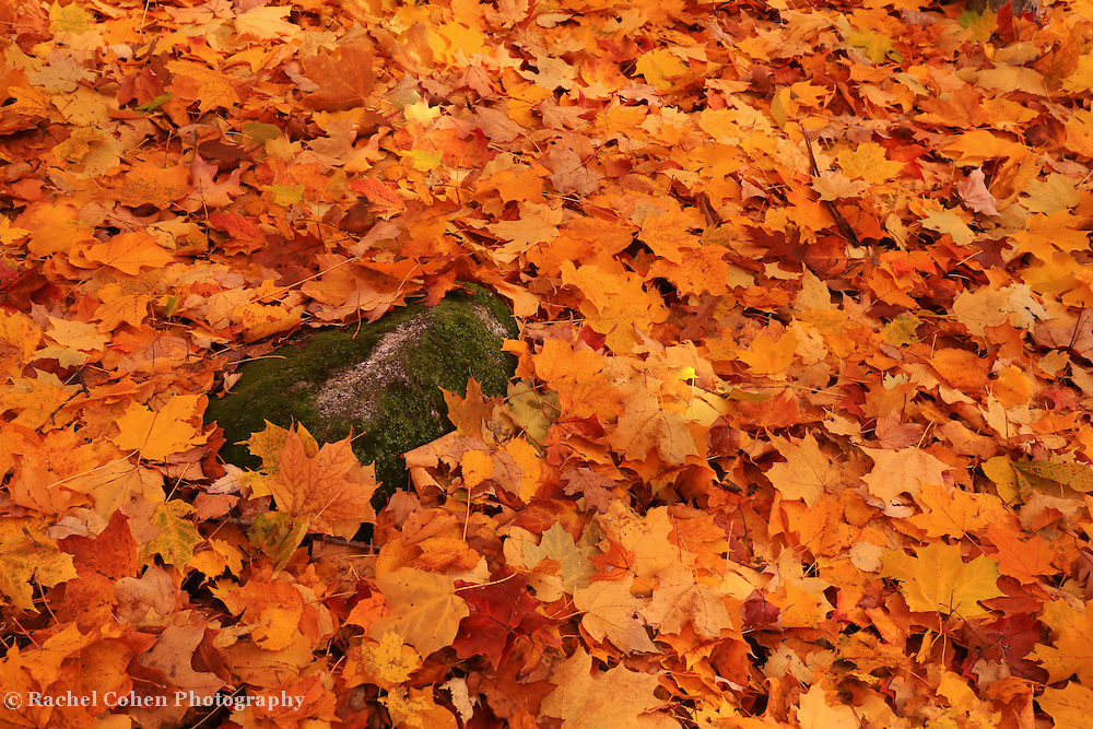&quot;Freshly Fallen Leaves&quot;<br />