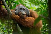 Bornean Orangutan - &quot;wurmbii&quot; subspecies<br /> (Pongo pygmaeus wurmbii)<br /> <br /> Adult male &quot;Codet&quot;<br /> <br /> Cabang Panti Research Station<br /> Gunung Palung National Park<br /> West Kalimantan, Indonesia<br /> Borneo Island
