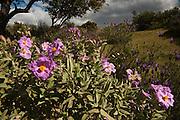 Pink Rock Rose  (Cistus crispus)<br /> Sierra de And&uacute;jar Natural Park, Mediterranean woodland of Sierra Morena, north east Ja&eacute;n Province, Andalusia. SPAIN<br /> <br /> Mission: Iberian Lynx, May 2009<br /> &copy; Pete Oxford / Wild Wonders of Europe<br /> Zaldumbide #506 y Toledo<br /> La Floresta, Quito. ECUADOR<br /> South America<br /> Tel: 593-2-2226958<br /> e-mail: pete@peteoxford.com<br /> www.peteoxford.com