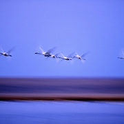 Tundra Swans flying at dusk. Freezeout Lake Wildlife Management Area, Rocky Mountain Front, Montana.
