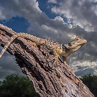 Sceloporus cyanogenys<br /> Photographer: Hector Astorga<br /> Santa Clara Ranch/Starr County