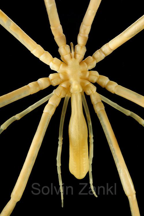 Rote Seespinne (Collossendeis proboscidea) Asselspinnen (Pycnogonida, Pantopoda)