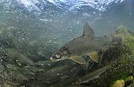 Lake Whitefish<br /> <br /> Paul Vecsei/Engbretson Underwater Photography