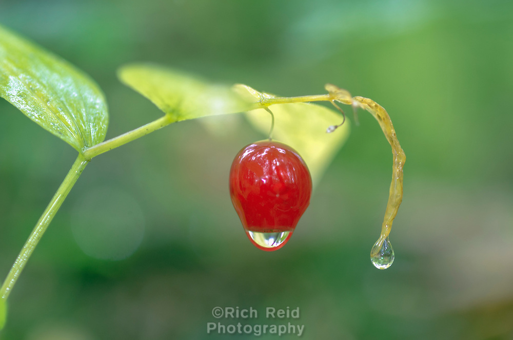 Water droplet red twisted stalk berry in Willams Cove in Tongass National Forest, Alaska.