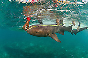 Nurse Shark (Ginglymostoma cirratum) research<br /> Marine Megafauna Research. Large marine fish, sharks, rays &amp; turtles.<br /> MAR Alliance<br /> Lighthouse Reef Atoll<br /> Belize<br /> Central America