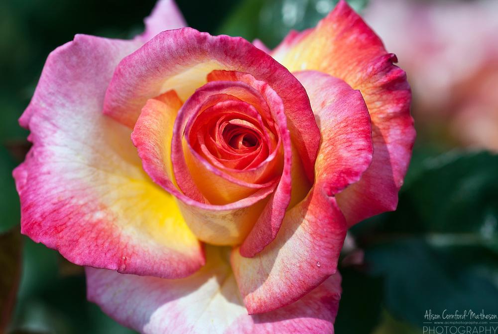 Rose Roxane