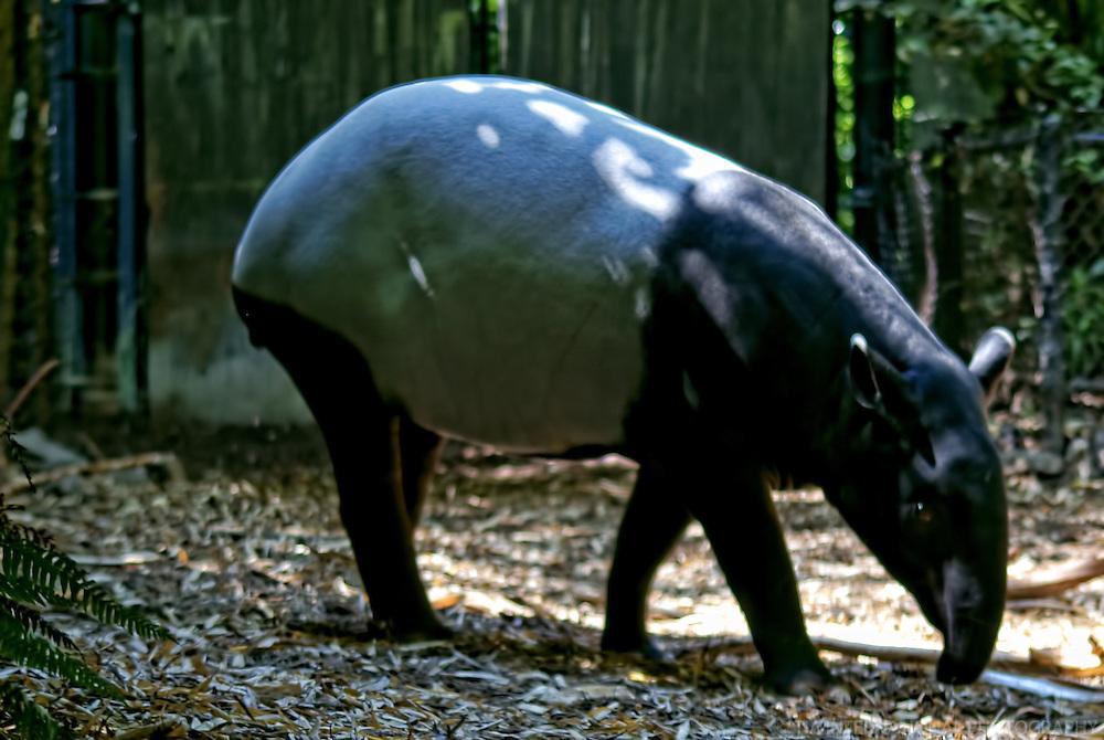 Tapir / Woodland Park Zoo, Seattle