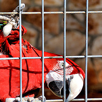 Sideways Scarlet Macaw Parrot at Natural Bridge Wildlife Ranch near San Antonio, Texas<br /> The scarlet macaw is one of six parrot species from Central America and northern parts of South America. The bird displays rich, red plumage. The large, white beak is ideally designed for feeding and producing loud squawks when its mouth is not full. It is also a powerful tool for navigation like gripping the side of this cage. This 32 inch, two-pound parrot is in the &ldquo;Walk-A-Bout&rdquo; section of the Natural Bridge Wildlife Ranch near San Antonio, Texas.