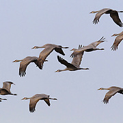 A flock of sandhill cranes (Grus canadensis) flies in formation over the Columbia National Wildlife Refuge near Othello, Washington. Thousands of sandhill cranes stop briefly near Othello on their northward migration each spring.