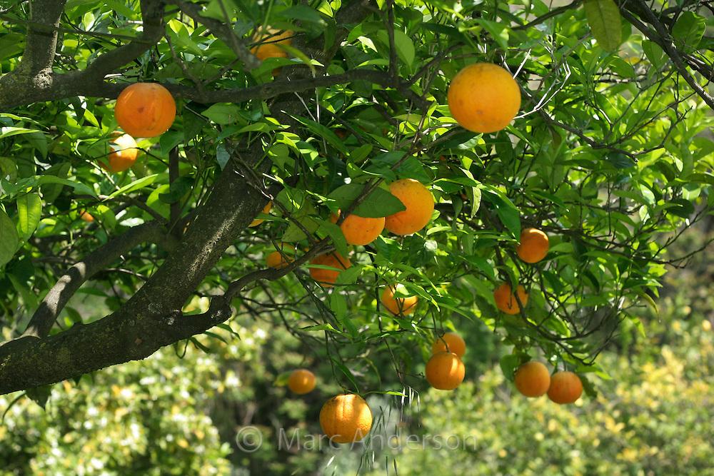 orange trees marc anderson photography. Black Bedroom Furniture Sets. Home Design Ideas