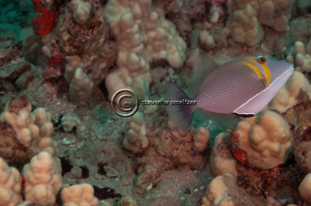Lei Triggerfish, Sufflamen bursa, (Bloch & Schneider, 1801), Maui Hawaii