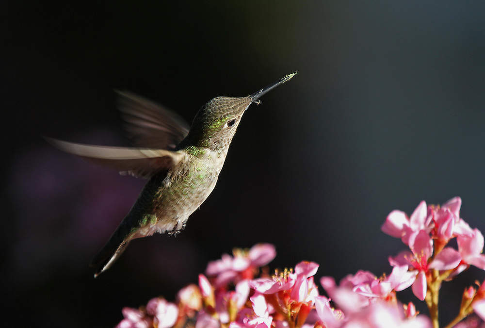 Flying Hummingbird, colorful hummingbird nature photography artwork by Greater Boston photographer Juergen Roth. This beautiful Ruby-Throated Hummingbird was photographed in Mountain View, California just down the road of Google headquarters at the end of Shoreline Road where the beautiful Shoreline Park edges the bay. Photographing hummingbirds in flight takes lots of patience and trials but in the end I was rewarded with one of my most memorable wildlife experience and photo.<br /> This bird photography image is available as museum quality photography prints, canvas prints, acrylic prints or metal prints. Prints may be framed and matted to the individual liking and decorating needs:<br /> <br /> http://juergen-roth.pixels.com/featured/flying-hummingbird-juergen-roth.html<br /> <br /> Good light and happy photo making! <br /> <br /> My best, <br /> <br /> Juergen<br /> Website: www.RothGalleries.com<br /> Twitter: @NatureFineArt<br /> Facebook: https://www.facebook.com/naturefineart<br /> Instagram: https://www.instagram.com/rothgalleries