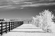 Four pine trees casting shadows on grass and a four plank fence in rural Kentucky. Infrared (IR) photograph by fine art photographer Michael Kloth. Black and white infrared photographs