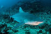 Bull Shark (Carcharhinus leucas)<br /> Commercial shark feeding<br /> Benga Lagoon, Viti Levu<br /> Fiji. South Pacific