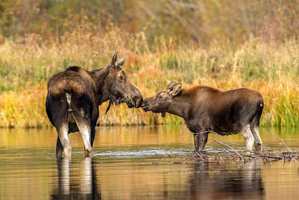 A moose cow and her four-month-old calf, tenderly nose-bump each other in greeting. This young calf will stay close by his mother's side until she gives birth to her next calf in spring. At that time, her calf will be banished and will be forced to live life on his own.
