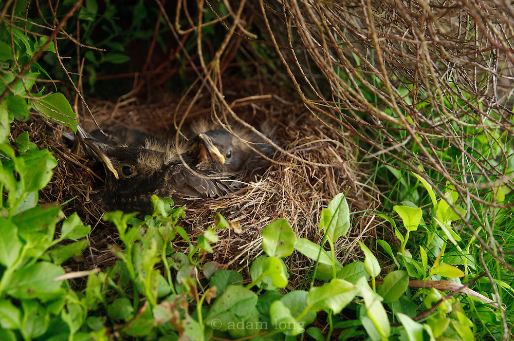 A brood of Ring Ouzel chicks in the nest, Burbage valley, Peak District, UK