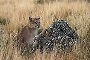 Puma (Felis concolor patagonica) female<br /> Torres del Paine National Park<br /> Patagonia<br /> Magellanic region of Southern Chile