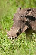 Warthog (Phacochoerus aethiopicus)<br /> SOUTH AFRICA: Mpumalanga Province<br /> Kruger National Park; near Satara Camp area<br /> 13-15.Jan.2006<br /> J.C. Abbott #2222